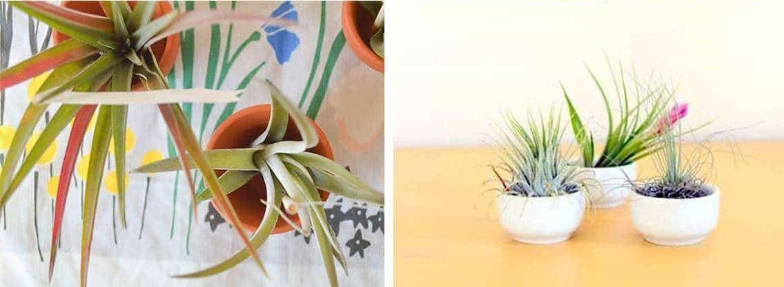 Luchtplantje in koffiekopje en bloempotjes   9 originele diy tips voor luchtplantjes in huis   www.homeseeds.nl