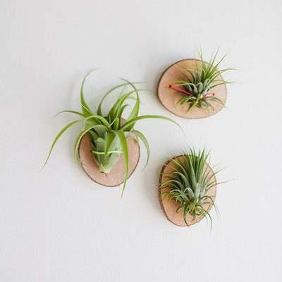 Doe het zelf tip - luchtplantjes aan een plankje voor aan de muur | 9 makkelijke diy tips voor luchtplantjes in huis | www.homeseeds.nl