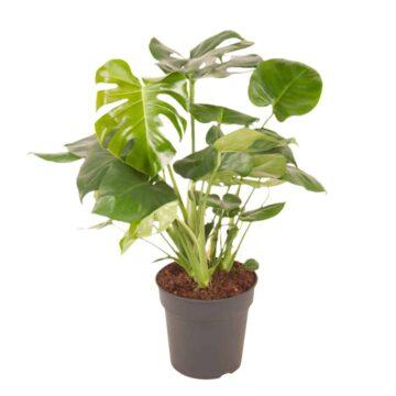 Monstera Deliciosa een geweldige groene kamerplant | Mag niet ontbreken in jouw urban jungle | Homeseeds.nl