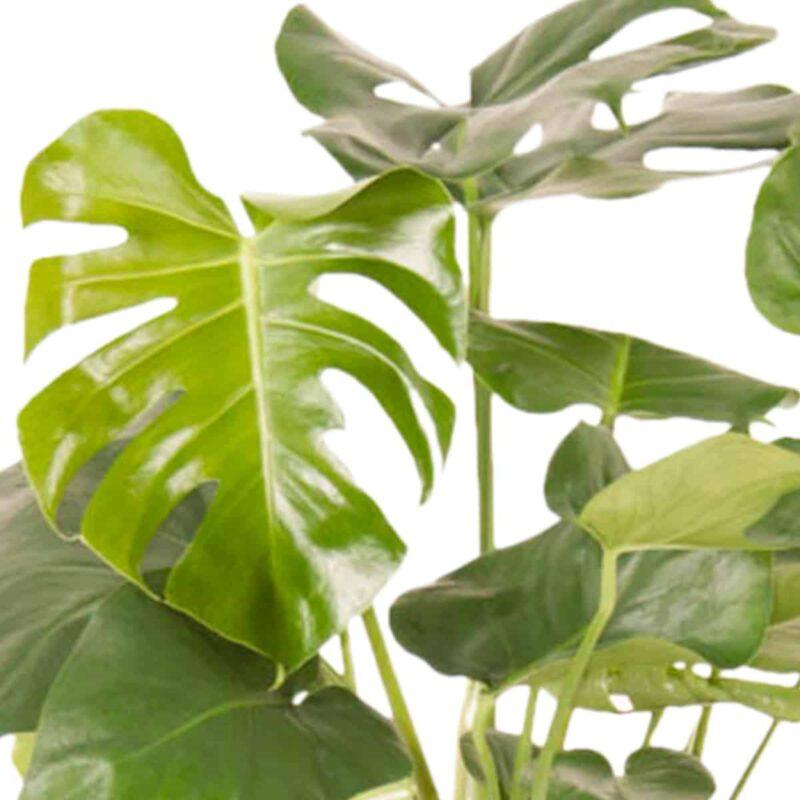Monstera Deliciosa ofwel gatenplant groene kamerplant met grote bladeren