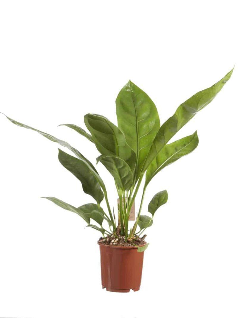 Anthurium Jungle king | Grote Groene Kamerplant | Homeseeds.nl