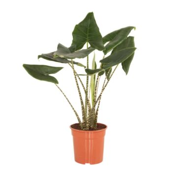 Alocasia Zebrina kamerplant Olifantsoor   Homeseeds.nl