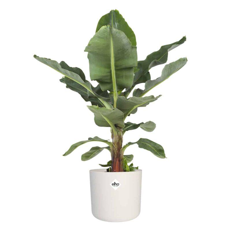 Bananenplant in witte pot