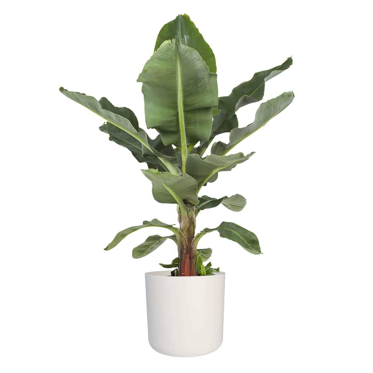 Bananenplant - Musa Dwarf Cavendish | Hippe kamerplanten 2020 | Homeseeds.nl