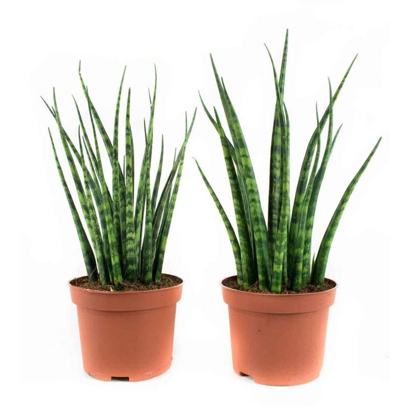 Sanseveria Fernwood Mikado hippe groene kamerplant met rechte bladeren