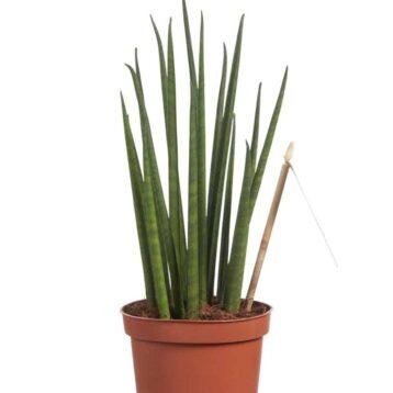 Sansevieria Mikado groene kamerplant Vrouwentong
