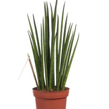 Sansevieria Mikado is een makkelijke kamerplant die luchtzuiverend werkt. Kamerplant met ronde cilindrische bladeren
