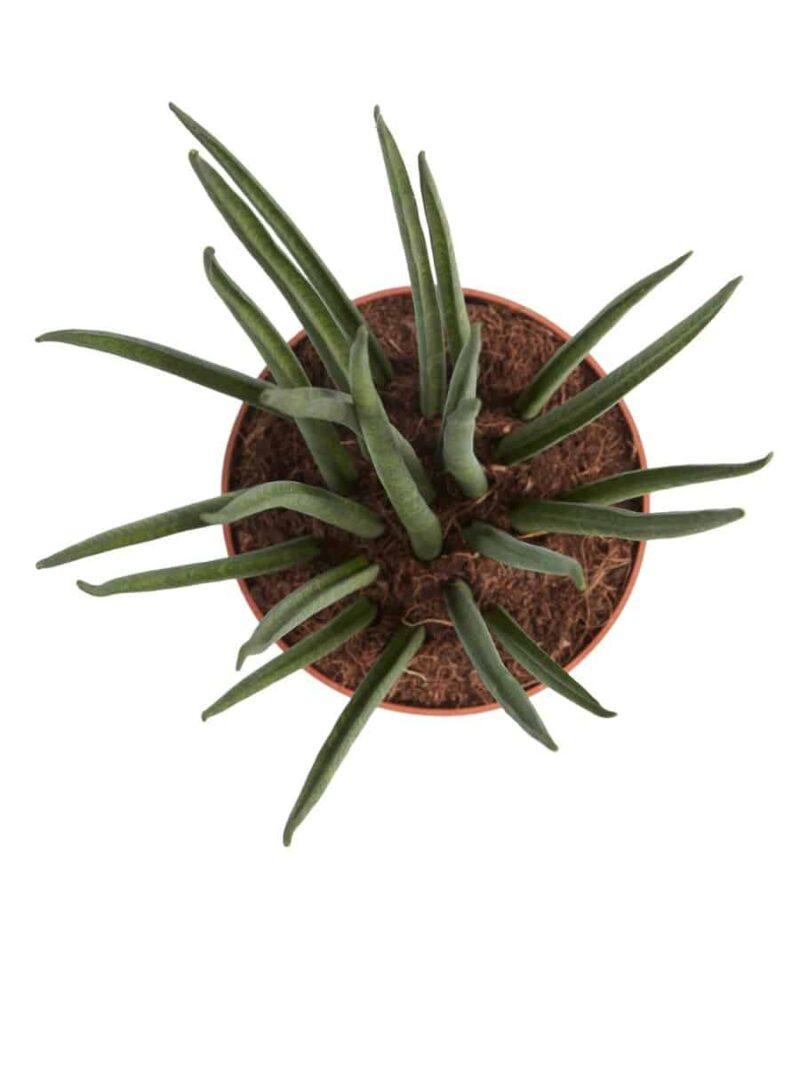 Sansevieria Mikado is een hippe kamerplant met rechtopstaande bladeren | Vrouwentong