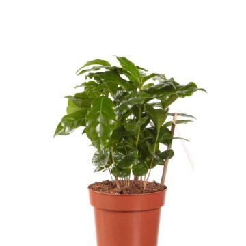 Koffieplant arabica | Hippe groene kamperlanten vind je bij Homeseeds.nl