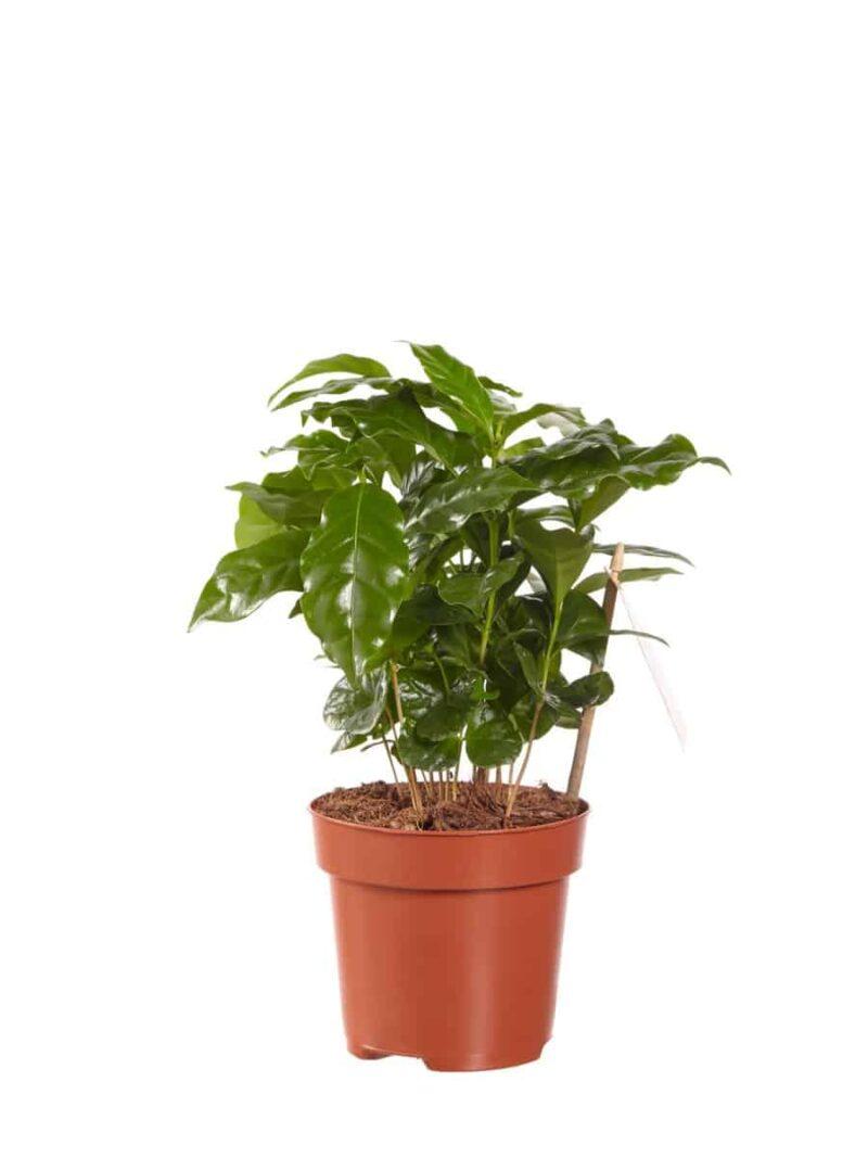 Koffieplant arabica   Hippe groene kamperlanten vind je bij Homeseeds.nl