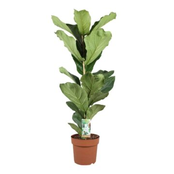 Vioolplant Ficus Lyrata | luchtzuiverende kamerplant met groene bladeren | Homeseeds.nl