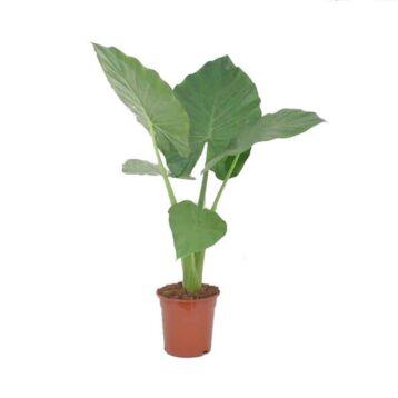 Alocasia Olifantsoor grone kamerplant met grote bladeren