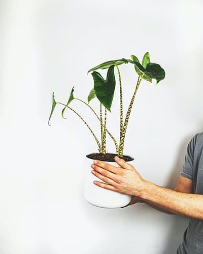 Alocasia Zebrina - Populaire kamerplanten | Homeseeds.nl