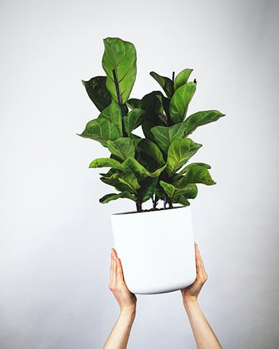 Vioolplant Vioolbladplant Ficus Lyrata