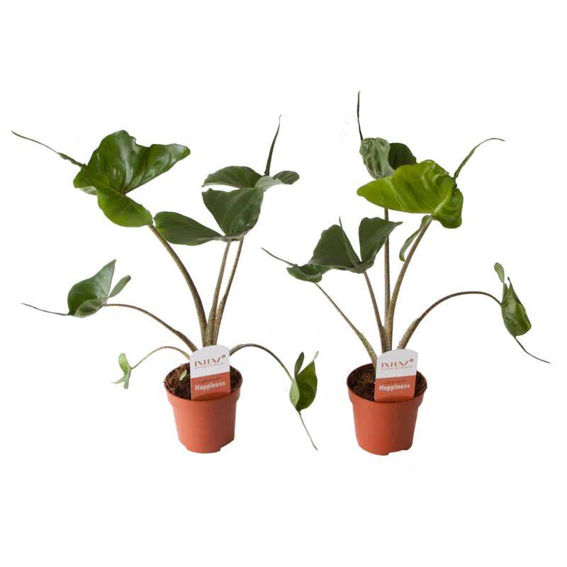 Alocasia stingray Olifantsoor groene kamerplant met puntige bladeren