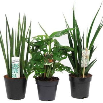 Plantenmix Monstera en Sansevieria | Mikado en Monkey Mask