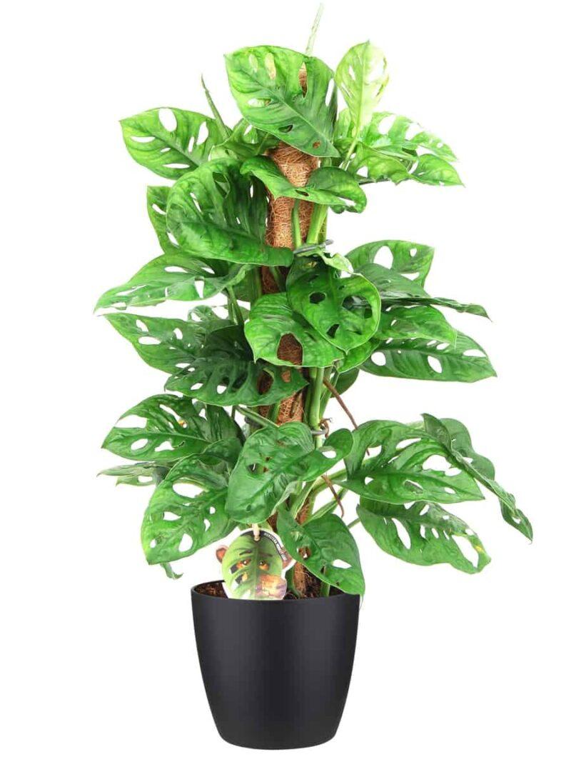 Monstera monkey Mask groene kamerplant op mosstok in zwarte pot | Homeseeds.nl