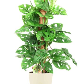 Monstera Monkey Mask Monkey Leaf op mosstok. Grote monstera | Groene kamerplant | Homeseeds.nl
