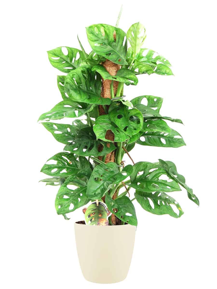 Monstera Monkey leaf Monkey Mask op mosstok. Grote monstera | Groene kamerplant | Homeseeds.nl