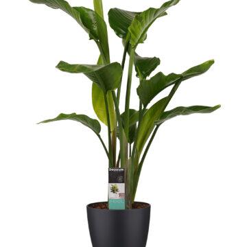 paradijsvogelplant strelitzia